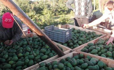 Cosecharon más de 20 toneladas de palta hass en Misiones y las destinarán al mercado central
