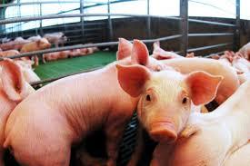 Análisis de los costos de producción en el sector porcino