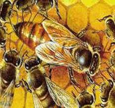 Uruguay abrió el mercado de abejas reinas argentinas