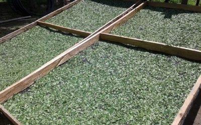 Impulsan el cultivo de moringa en el norte del país