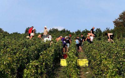 Los fabricantes de champán hacen burbujas sobre una cosecha extraordinaria causada por la sequía en Europa
