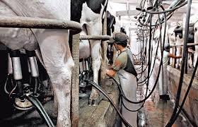 Tamberos uruguayos ya cobran casi 40% más que su pares argentinos por la leche en tranquera