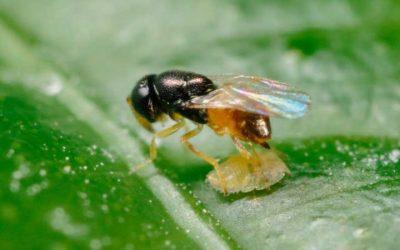 Biofábrica producirá avispas benéficas para frenar el HLB que afecta a los cítricos