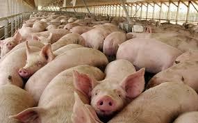 Los cerdos comen en dólares, pero se venden en pesos