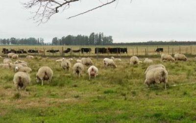 Abortos en ovinos: identificar las causas evita pérdidas