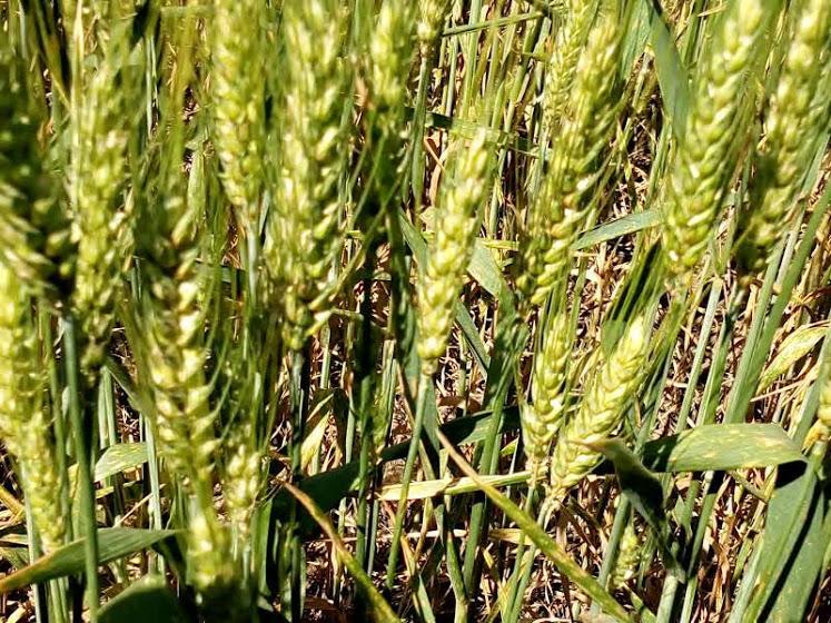 Lanzan el análisis gratuito de la calidad de trigo