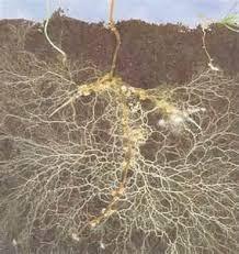 Funciones y caracterización de la diversidad microbiana del suelo (IIParte)